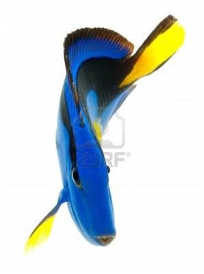 blue tang, los peces marinos de coral aisladas sobre fondo blanco Foto de archivo