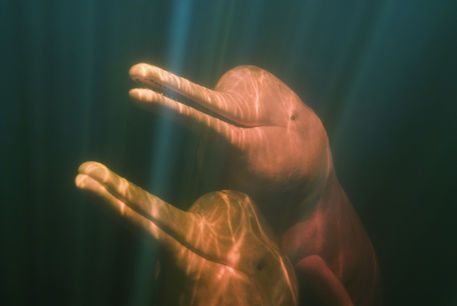 Boto, or Amazon River Dolphin (Inia geoffrensis) WILD, Rio Negro, BRAZIL by Danita Delimont: Inia Geoffrensi, Amazons Rivers, Boto Dolphins, Dolphins Inia, Brazil Posters, Rivers Dolphins, Rio Negro, Rivers T-Shirt, Amazon River