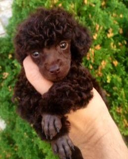 Toy Poodle Puppy Cut all love in your hands