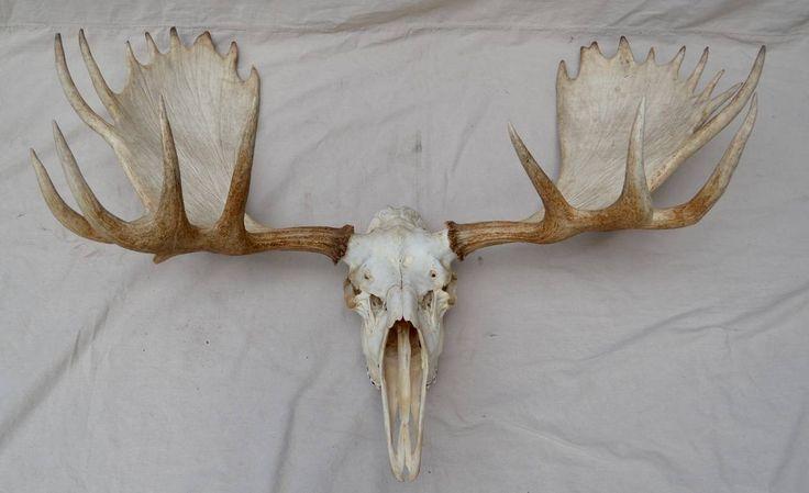 Large Moose Skull Mount For Sale at 1stdibs