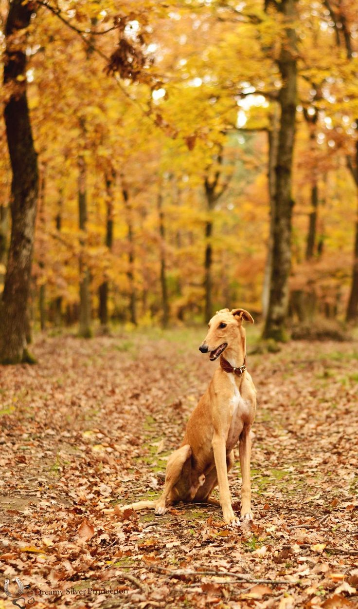 Hunor the hungarian greyhound / magyar agár