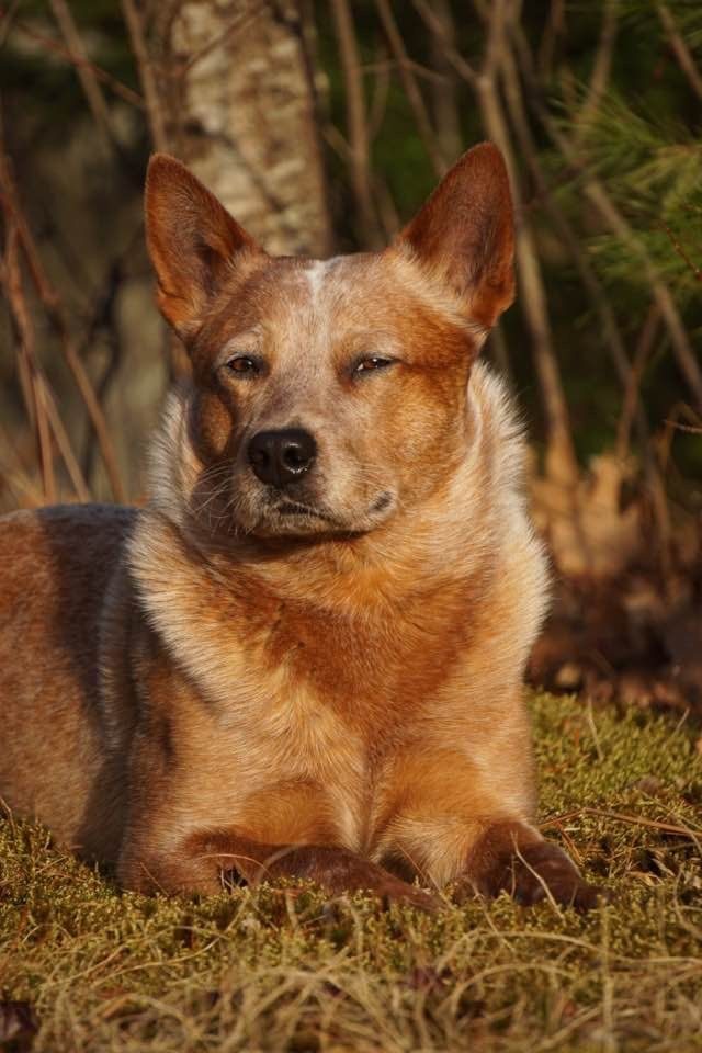 Serious Grown Up Red Heeler Pose Rufus Like Critters