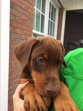 Litter of 9 Doberman Pinscher puppies for sale in ELIZABETHTOWN, NC. ADN-26954 on PuppyFinder.com Gender: Male(s) and Female(s). Age: 9 Weeks Old