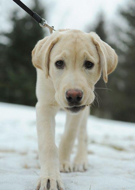 Yellow Labrador / Lab Retriever Puppy Dog #Labs