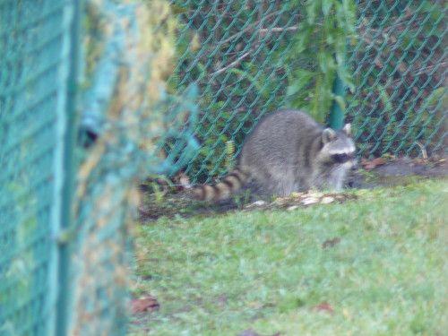 visite d'un raton laveur dans le jardin de la location http://tricotdamandine.over-blog.com/tag/voyage%20en%20floride%20-%202012/2