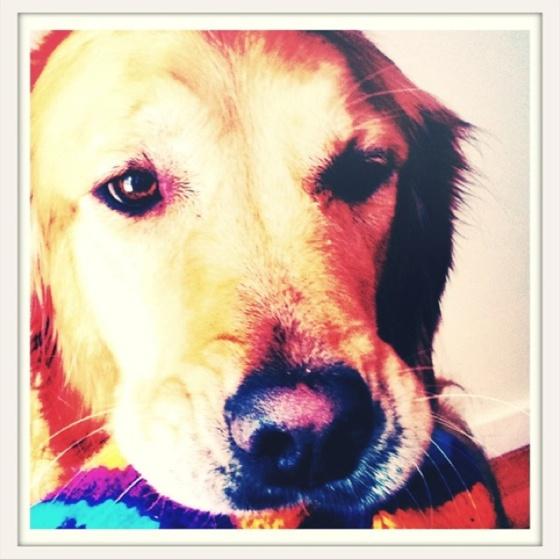 #golden #retriever #dog