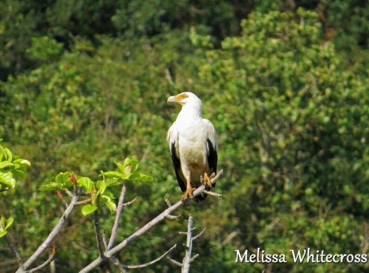 Palm-nut Vulture - Mtunzini, KZN
