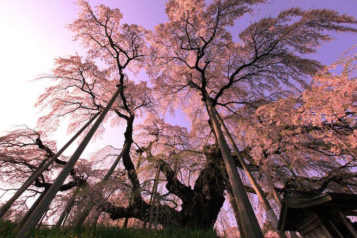 Pin By Jason Mccormick On Tree Blossom Trees Cherry Blossom Tree Cherry Blossom