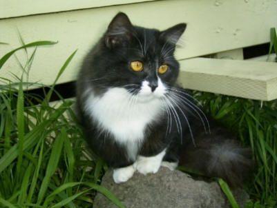 Cat Photos - Munchkin Cat Pictures