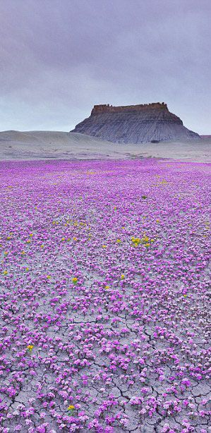 ✯ An isolated corner of the Mojave desert carpeted in wildflowers
