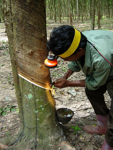 File:Tapping a rubber tree in Thailand.JPG