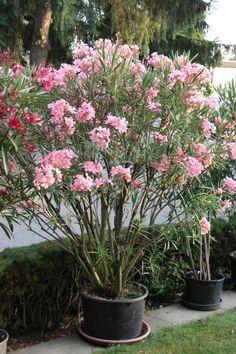 Oleander in voller Blüte