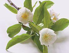 Omenankukka Kukkia Kevyt ja ilmava, kuin tuulenhenkäys. Tuoksussa voi aistia omenankukkien, kukkaistuoksujen ja raikkaiden hedelmien aromit.