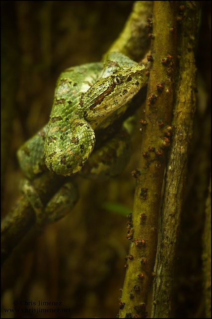 Eyelash pit viper | Flickr - Photo Sharing!