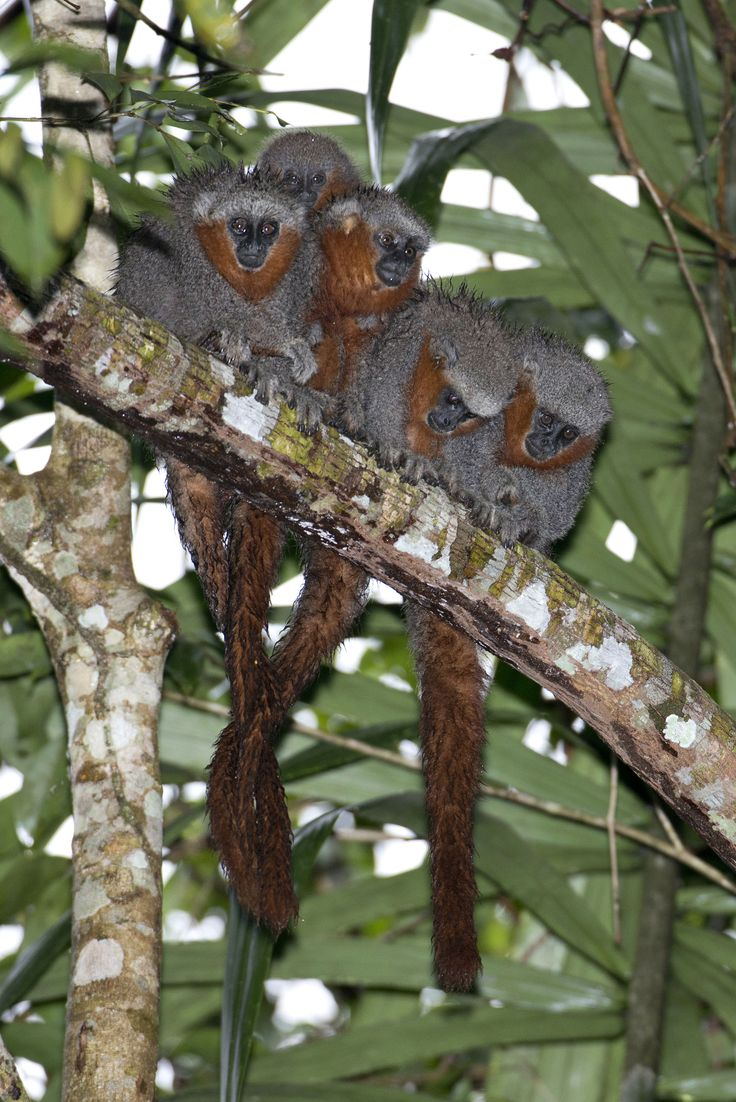 New monkey species (Milton's Titi Monkey) discovered in the Amazon rainforest. Rather sweetly, these monkeys often sit with their tails entwined. Fauna & Flora International. Credit: Adriano Gambarini