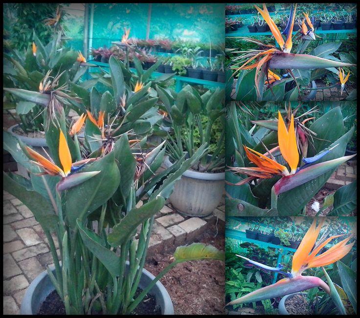 strelitzia reginae aka bird of paradise - our nursery. so our nursery is a new paradise