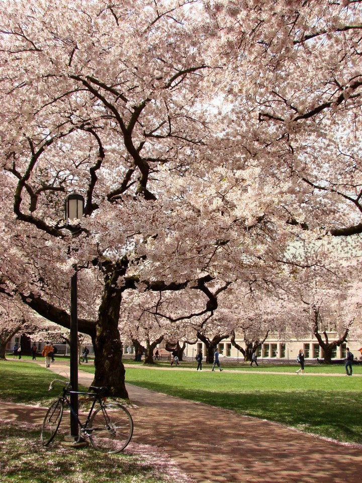 Uw Cherry Blossoms University Of Washington Photo Cascadia