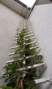Climbing ladder for Clematis in Ahlbeck / Usedom / Mecklenburg-Hither Pomerania