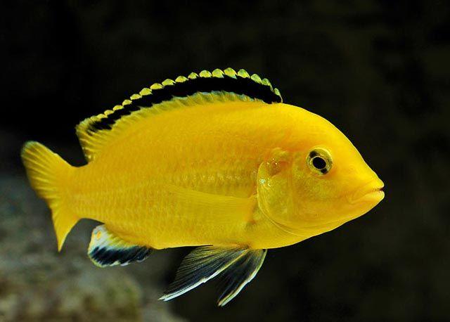Żółta rybka