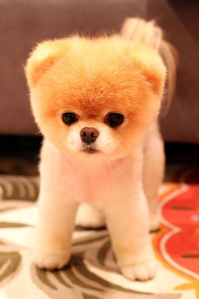 27 Adorable Chubby Puppies That Look like Teddy Bears | BlazePress