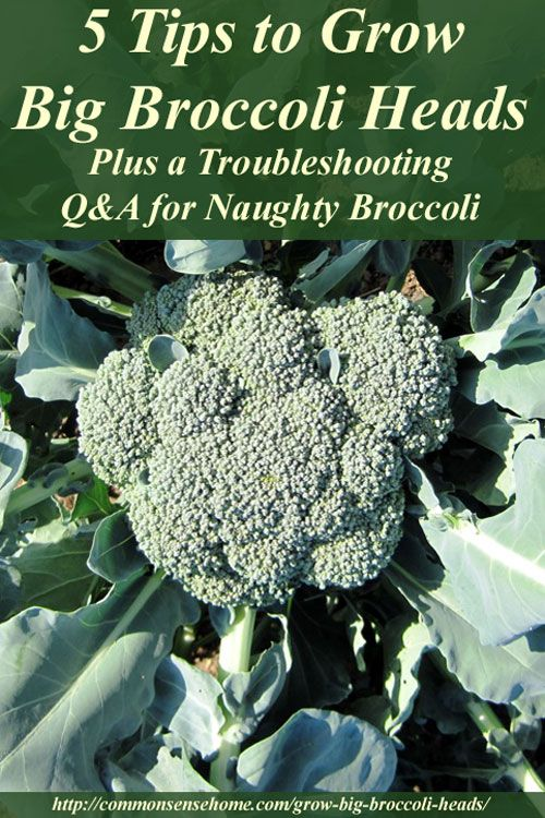 5 Tips to Grow Big Broccoli Heads: Tips for growing big heads of broccoli, plus general broccoli growing requirements, broccoli companion plants, and troubleshooting tips for broccoli problems.: