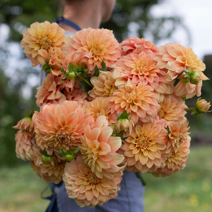 """The cantaloupe colored blooms of this beauty are held upright on strong, sturdy stems. The medium-sized flowers are great in hand tied bouquets, but must be harvested before fully mature, otherwise they have a tendency to drop their petals.Details Flower Type: Formal Decorative Height: 3-4' Site: Full Sun Days to Maturity: 80-100 days Plant Spacing: 12-18"""" Pinch: When plants are 12"""" tallHarvesting/Vase Life Cut when blooms are three-quarters of the way open, but not overly ripe. To do th..."""