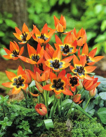 "Tulip 'Little Princess' - Makes quite a statement with its dark centers and pumpkin-orange petals. Height 4-8"" Zones 3-8"