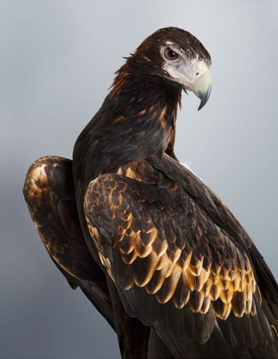 """""""Soren"""" Wedge-Tailed Eagle from """"Prey"""" collection by Leila Jeffreys"""