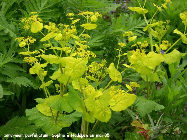 Smyrnium perfoliatum skyggebed ved skur pinterest for Cama 0 90 x 1 90
