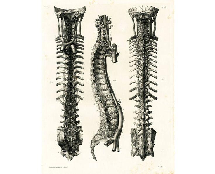 1836 Colonne Vertébrale Rachis Thoracique Veines Vertèbres Dessin Planche Anatomique Bourgery, Poster Anatomie Médecine de la boutique sofrenchvintage sur Etsy