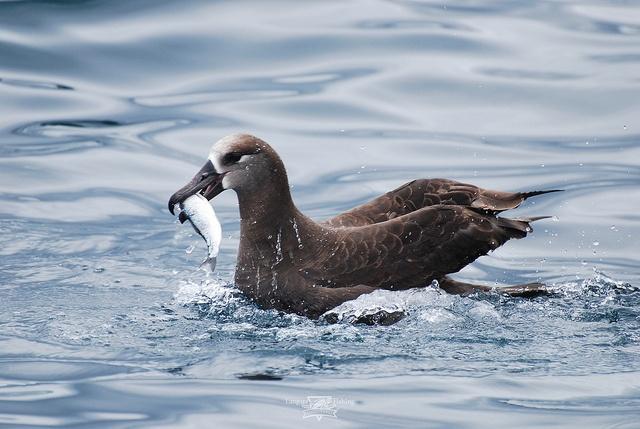Albatross eating a herring at Langara Island, Haida Gwaii by Langara Fishing Adventures, via Flickr