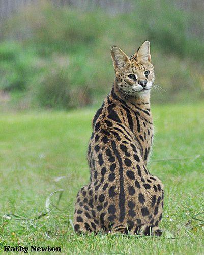 Several Cat (Leptailurus serval) Africa