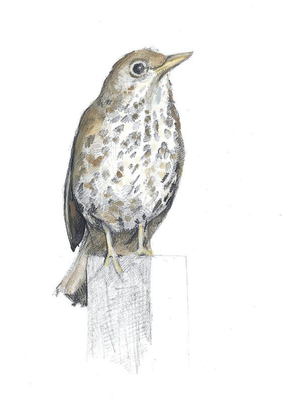 A5 Print - Song Thrush - Pencil Study