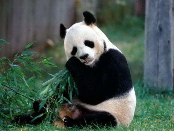 Imagen oso panda comiendo bambu  [13-3-17]