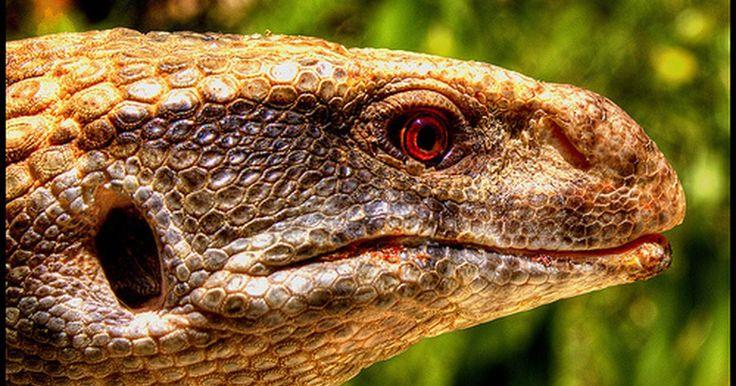 Ciclo de vida de los lagartos. Los lagartos son reptiles que están estrechamente relacionados con las serpientes y tienen un tamaño que varía desde media pulgada (1,27 cm), como los de la famila de lagartos gecko, hasta 10 pies (3 m) como los dragones de Komodo.