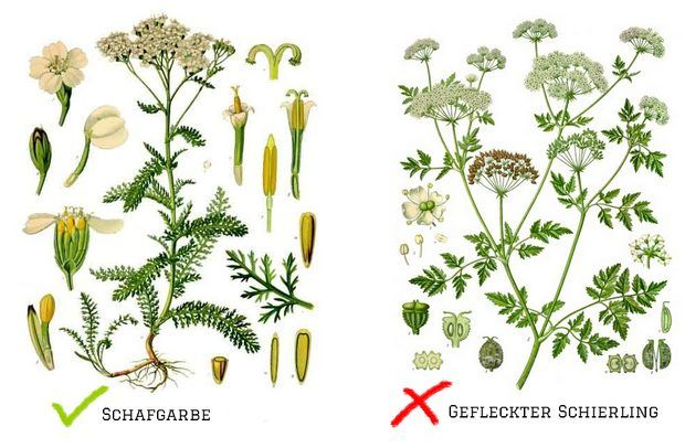 Conium_maculatum_-_Köhler–s_Medizinal-Pflanzen-191 Achillea millefolium gefleckter schierling schafgarbe verwechslung giftig haare haarkräuter vegan kosmetik