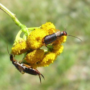 This is a guide about getting rid of earwigs. Earwigs are nocturnal omnivorous insects. They will eat both plants and other insects. It is their enjoyment of our flowers and vegetables that prompts the desire to rid ourselves of these hungry pests.