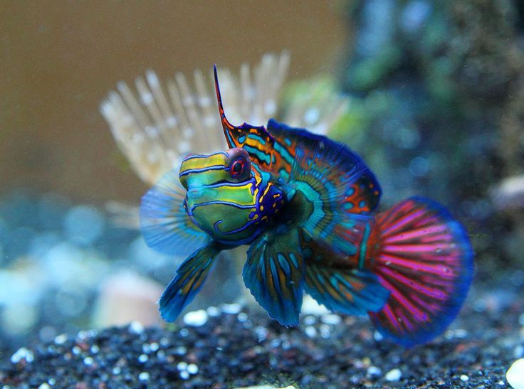 Red Mandarin Dragonet Salzwasserfisch Marine Fish Invertebrates Corals Marine Fi Coral Saltwater Fish Tanks Marine Fish Saltwater Aquarium Fish