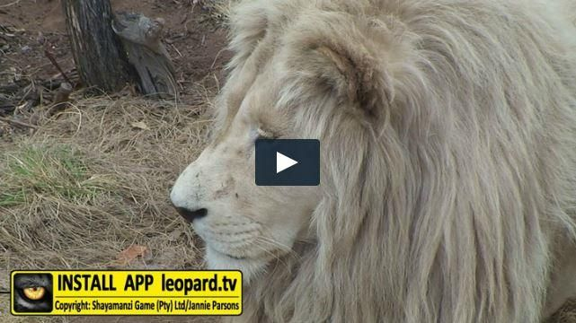Lions are known to be the laziest of the big cats and spend up to 20 hours a day sleeping and resting. They devote the remaining hours to hunting, protecting their territory and courting females. Here is a video of the white male #lion, Jack, who enjoys being #lazy... #shayamanzi #leopardtv