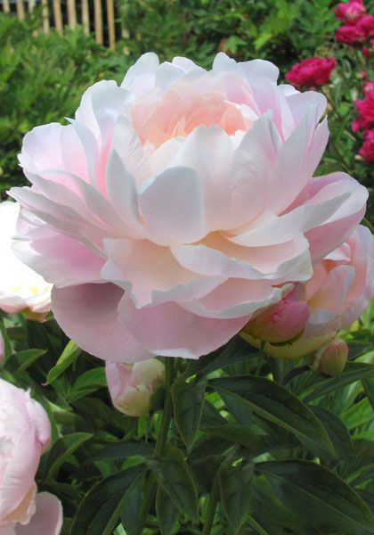 "Peony ""Mrs. Franklin Roosevelt"" Reminds me of my childhood home Barley Cottage in Kent, England xxx"