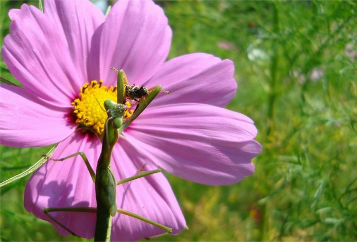 Praying Mantis eating a honeybee, sitting on a pink cosmos.