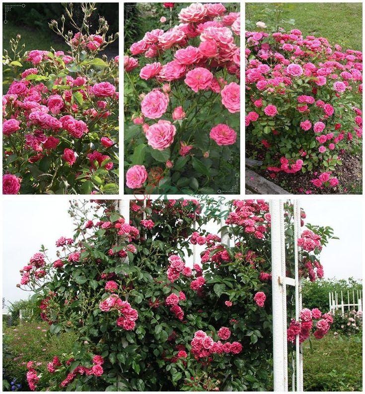 różowe róże - Elmshorn