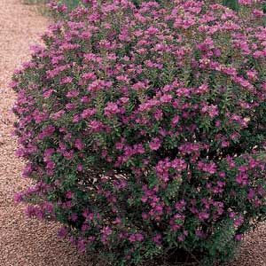 Shrubs trees and grasses a collection of ideas to try for Small flowering shrubs for full sun