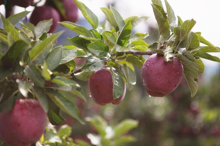 Es ist soweit: die ersten Äpfel sind reif. In #suedtirol beginnt die Ernte. #irefDiscover #meetmerano #apfel