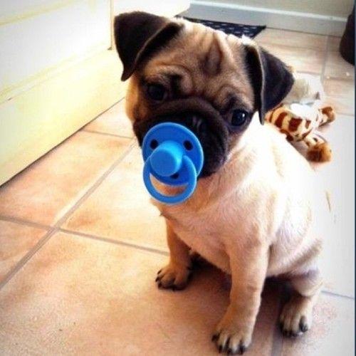 Baby pug bahhhh so cute!