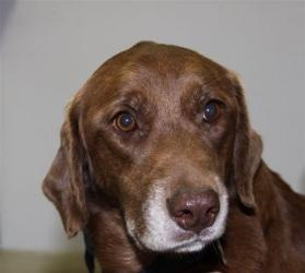 Mocha is an adoptable Labrador Retriever Dog in Plum, PA. Just take one look at that face and tell me that Mocha is not the sweetest girl you have ever seen. You can just tell by looking at her she is...