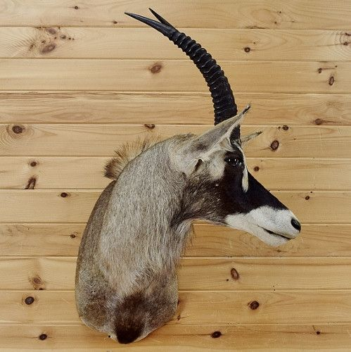 African Roan Taxidermy for Sale - SW2696