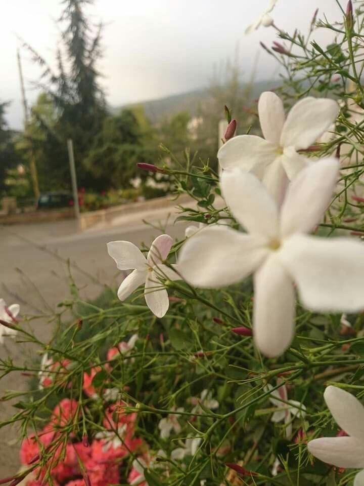 Jasmine From Syria زهرة الياسمين الشامي سورية Beautiful Flowers Flowers Rose