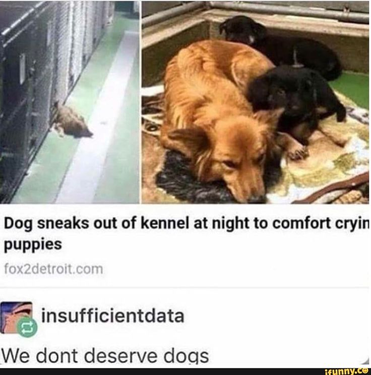 Dog sneaks out of kennel at night to comfort crying puppies insufficientdata: we don't deserve dogs