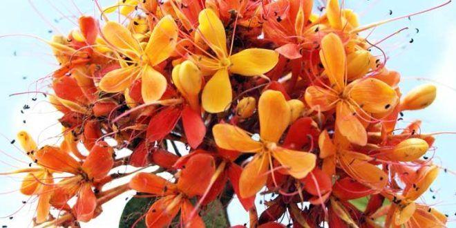 Galeri 12 Gambar Bunga Asoka Yang Indah | Gambar Pemandangan Indah